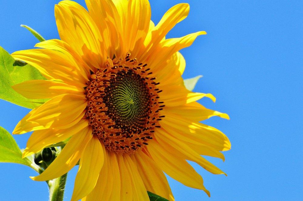 sun-flower-1528936_1920