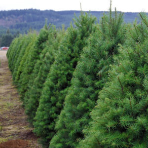 Seven Louisiana Christmas Tree Farms You Can Visit This Year